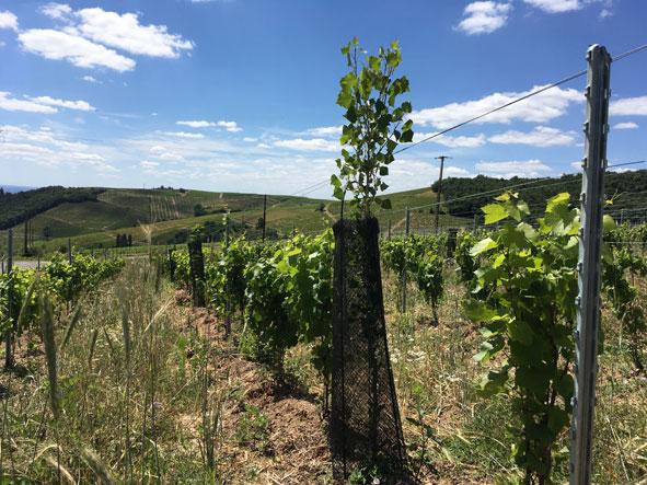 vigne en agroforesterie